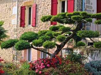 Vue extérieure sur le Juniperus taillé en nuages - Olivier