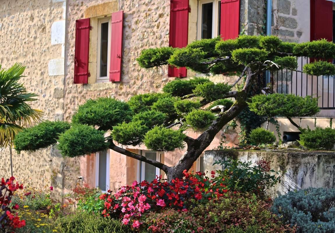 Olivier - Vue extérieure sur le Juniperus taillé en nuages